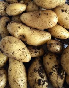 Oogst aardappel